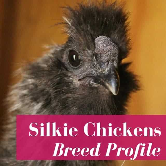 Silkie Chickens: Pet Facts & Fiction