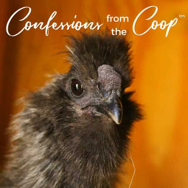 Confessions from the Coop: Who's Laying??