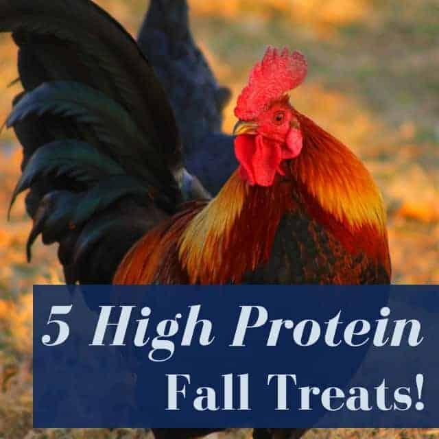 5 Backyard Chicken Friendly High Protein Treats For Fall