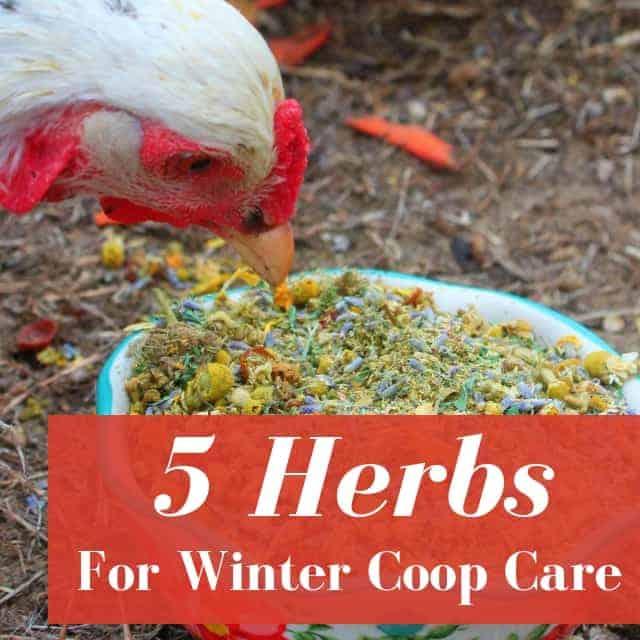 5 Herbs Every Chicken Mama Needs This Winter