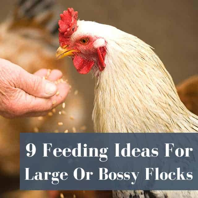 9 Ideas To Feed A Flock So Every Chicken Gets Food