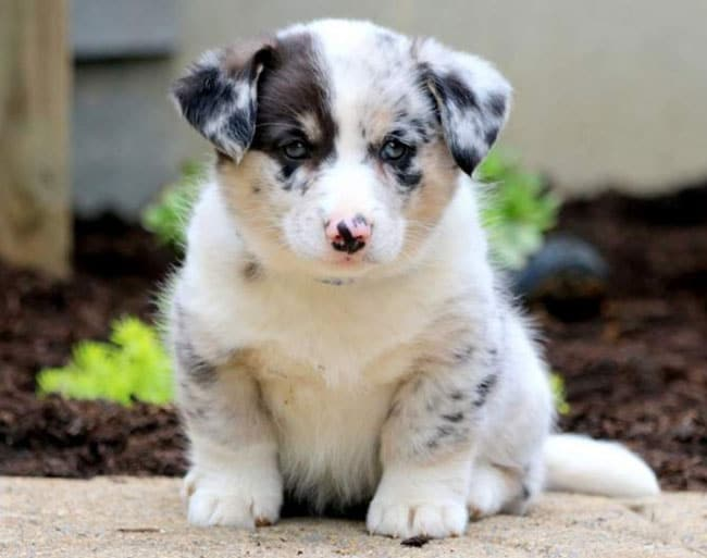 Meet The Corgsky Corgi Husky Mix