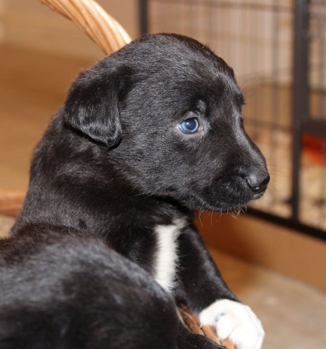 border collie lab mix puppy