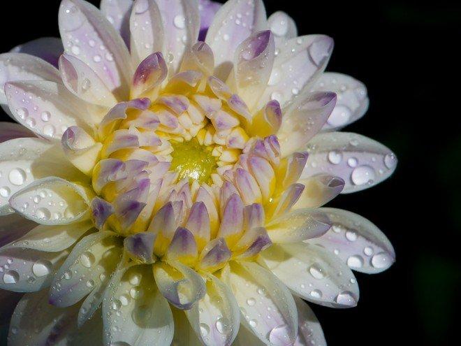 Fleur de Dahlia rayonnant