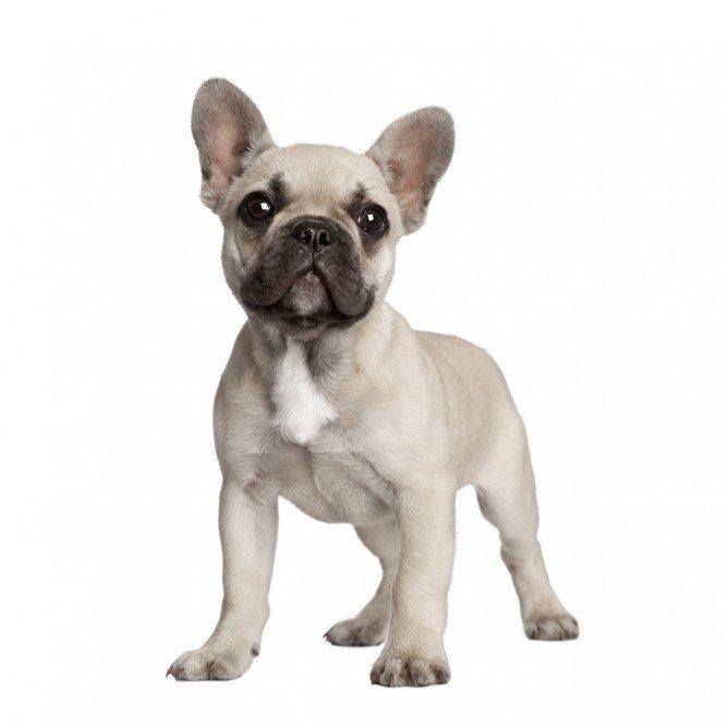 French Bulldog Shedding And Grooming