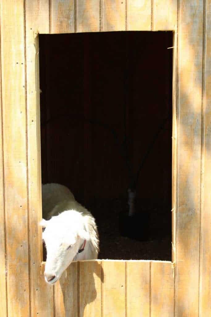 Backyard chicken coop window