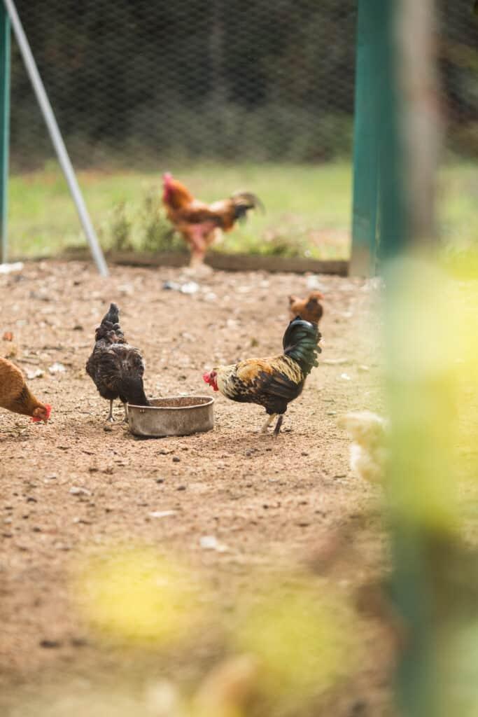 free range chickens on a farm