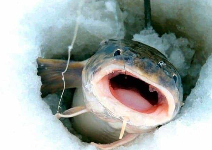 menyhal táplálkozása