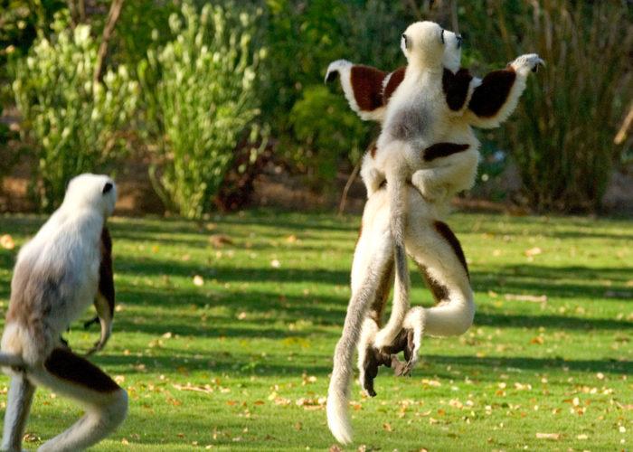 lemuri in madagascar