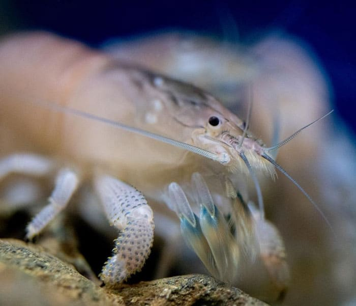 Vampire shrimp care