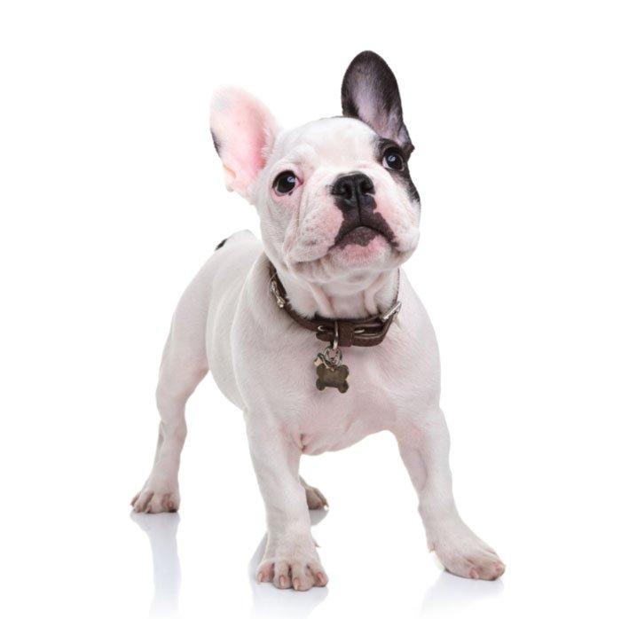 French Bulldog Cost