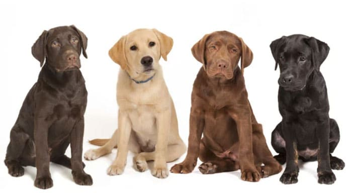 Labrador Retriever different colors