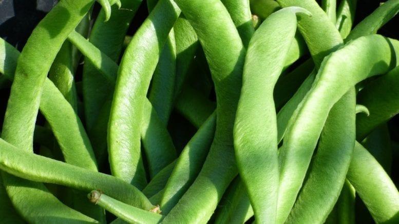 leguminous plant