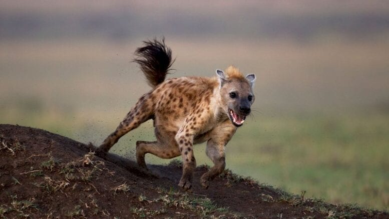 why-do-spotted-hyenas-laugh?