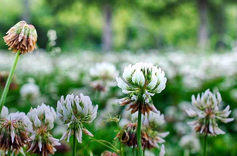 Dwarf white clover attracts bees and other wildlife. If desired, you can control blooming by mowing.