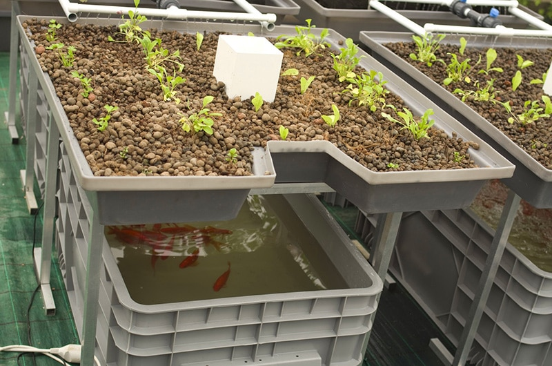 How To Grow With Aquaponics In 5 Simple