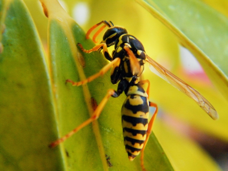 Wasp on leaf