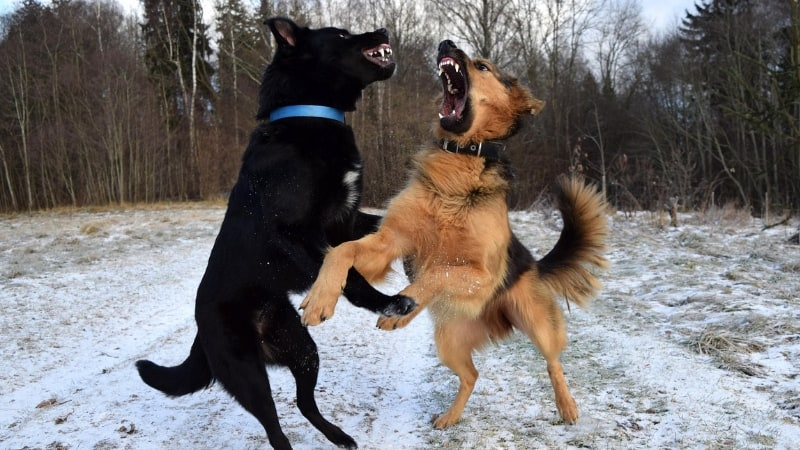 Confusing dog behaviors - dogs fighting or playing