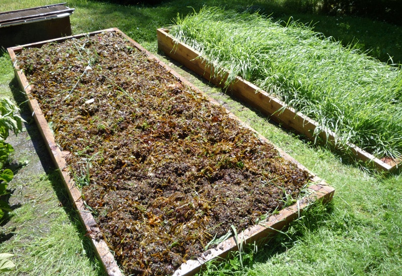 seaweed in raised garden bed