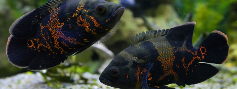 oscar-fish-care