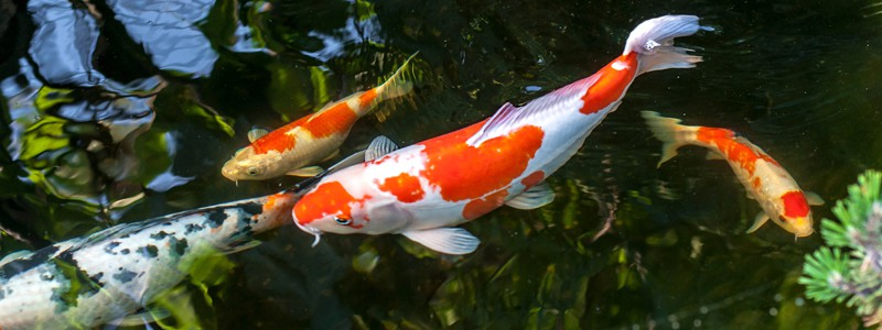koi-fish-care