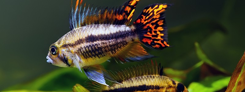 what-cichlids-stay-small