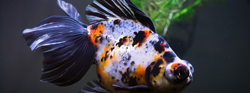 why-do-goldfish-turn-black