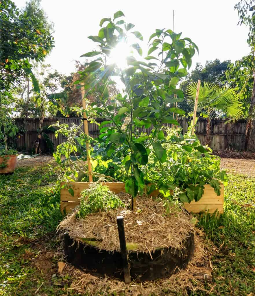 Planting a new grapefruit tree in October in the tropics