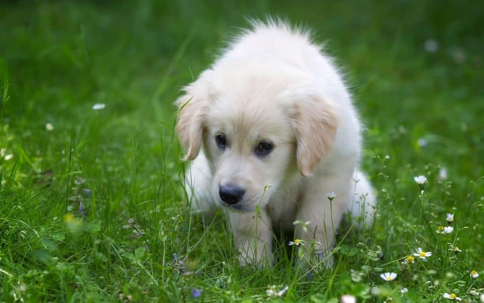 Puppy pooping on grass