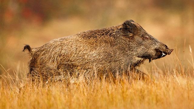 Wild Boar Ridge Hunting Ranch