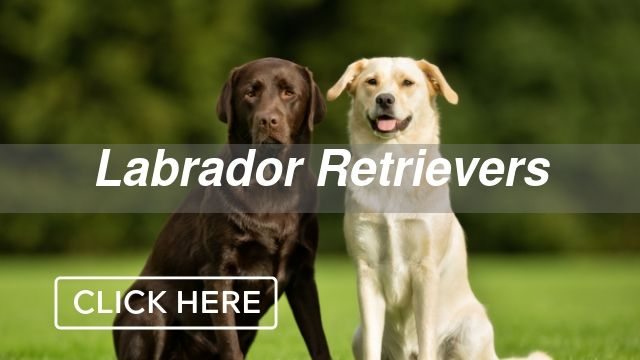 Labrador Retrievers Category