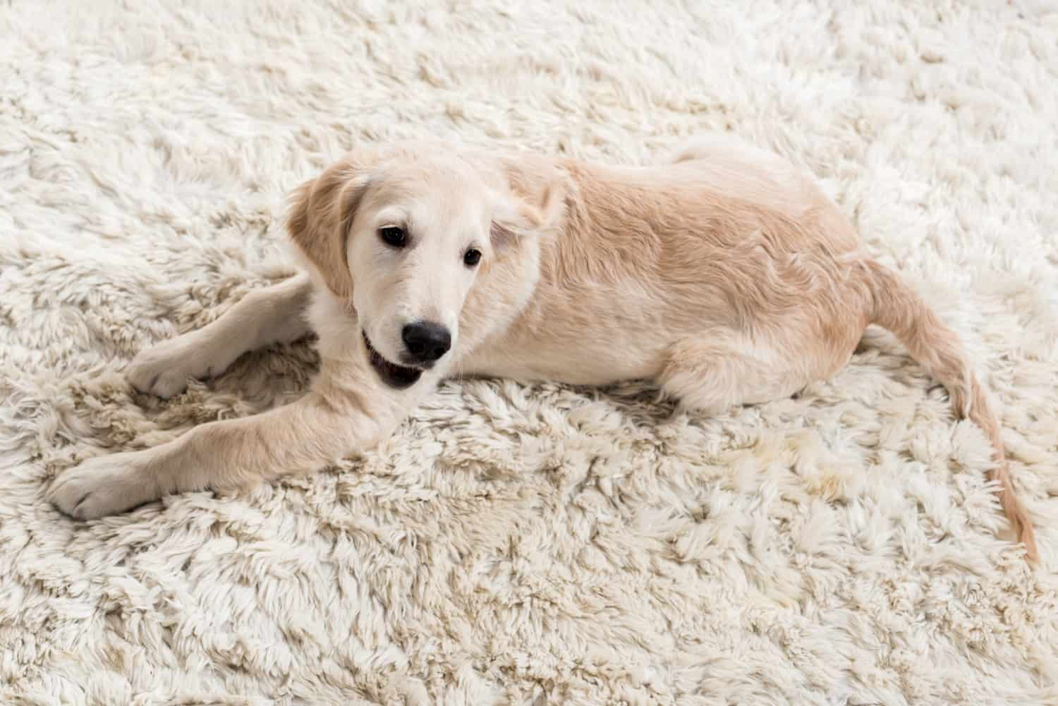 Dog in the Clean Carpet