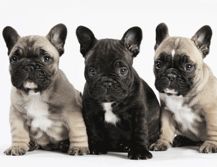 The Many Colors of the French Bulldog