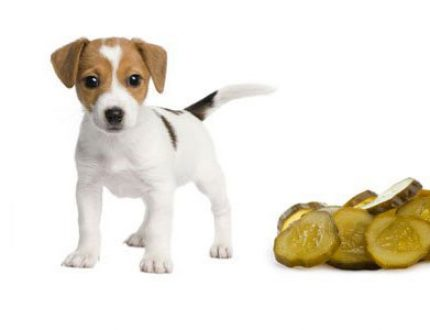 Can Dogs Eat Pickles? How To Serve It?