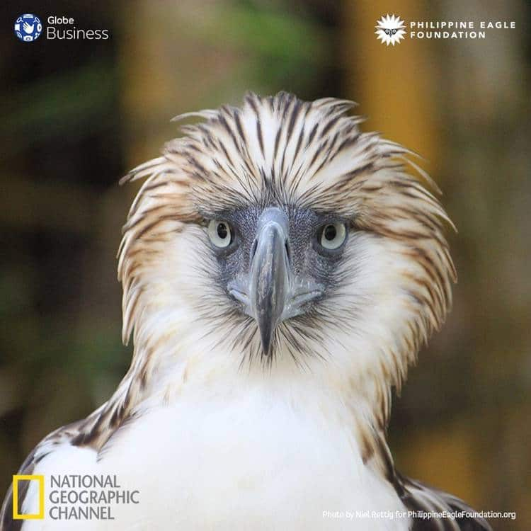 Pamana, our Philippine Eagle, flies free on Independence Day