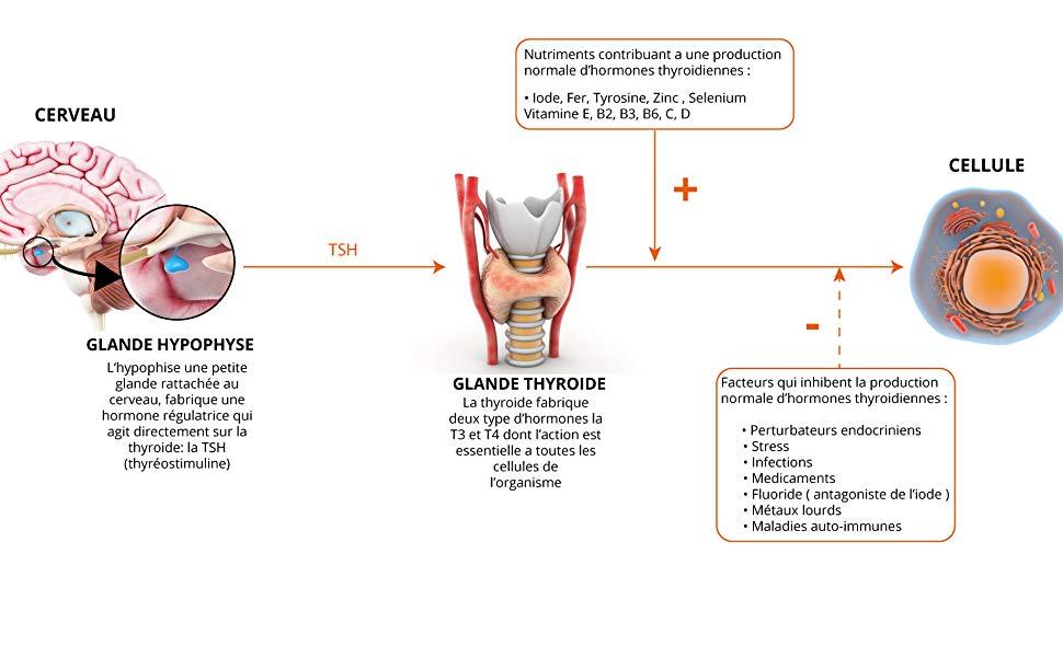 thyroïde metabolium thyreodoxium tyrosine iode sélénium