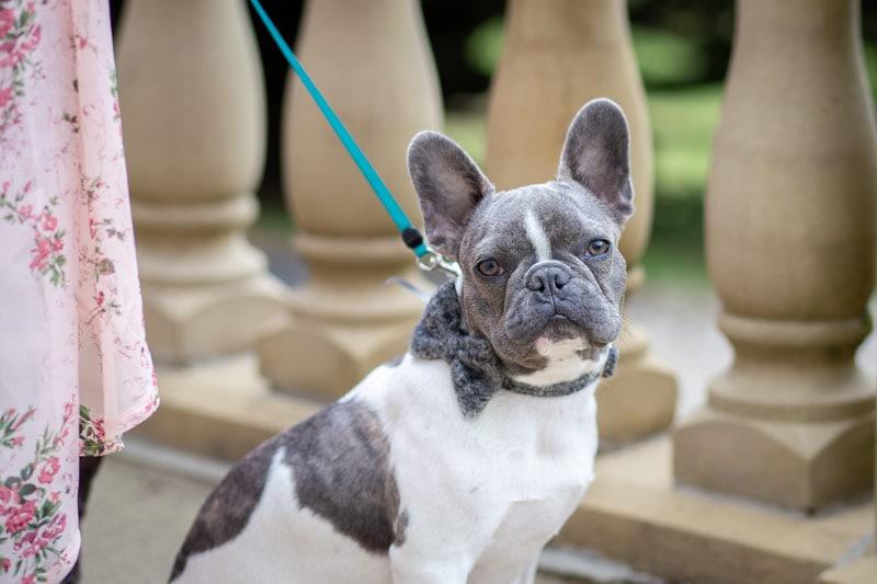 Photo of French Bulldog at Woodhill Hall wedding