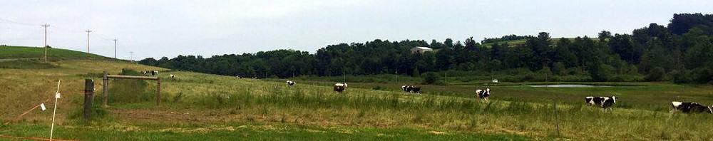 cows come home wide