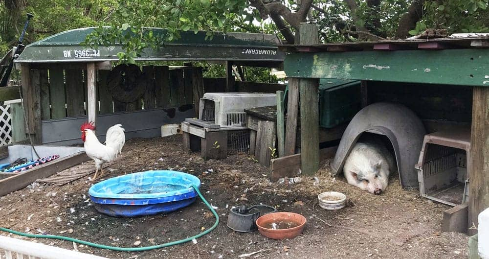 Farm animals, including several pigs, chickens and a goat, share the space at Whidden's Marina in Boca Grande. (Photo: Bonnie Gross)