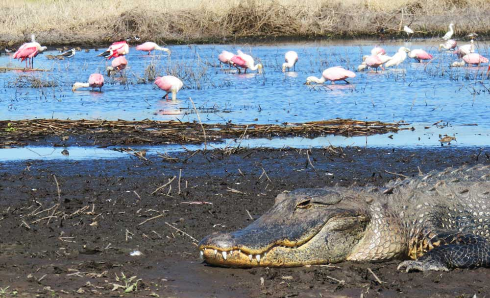 A gator seemed to protect the entrance to the mud flats that attracted roseate spoonbills, stilts and storks, among other birds at Myakka River State Park.
