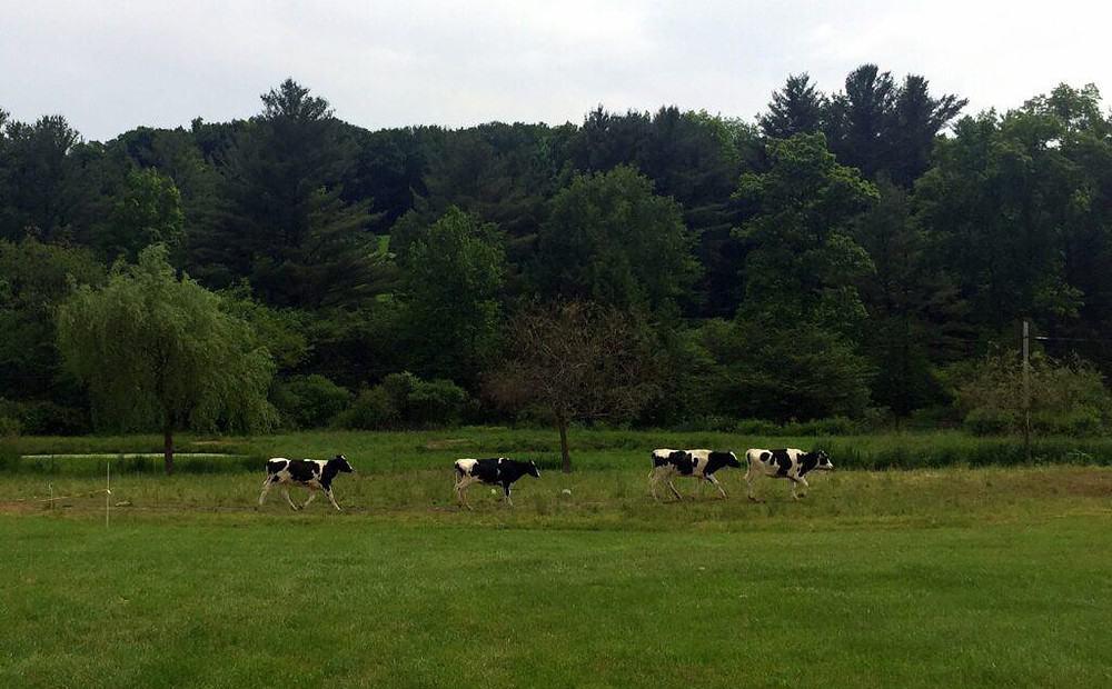when the cows come home 2