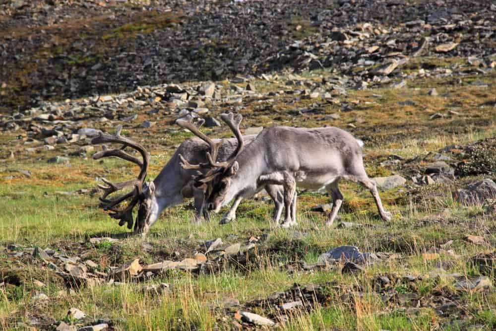 Reindeers are quite easy to spot in Svalbard.