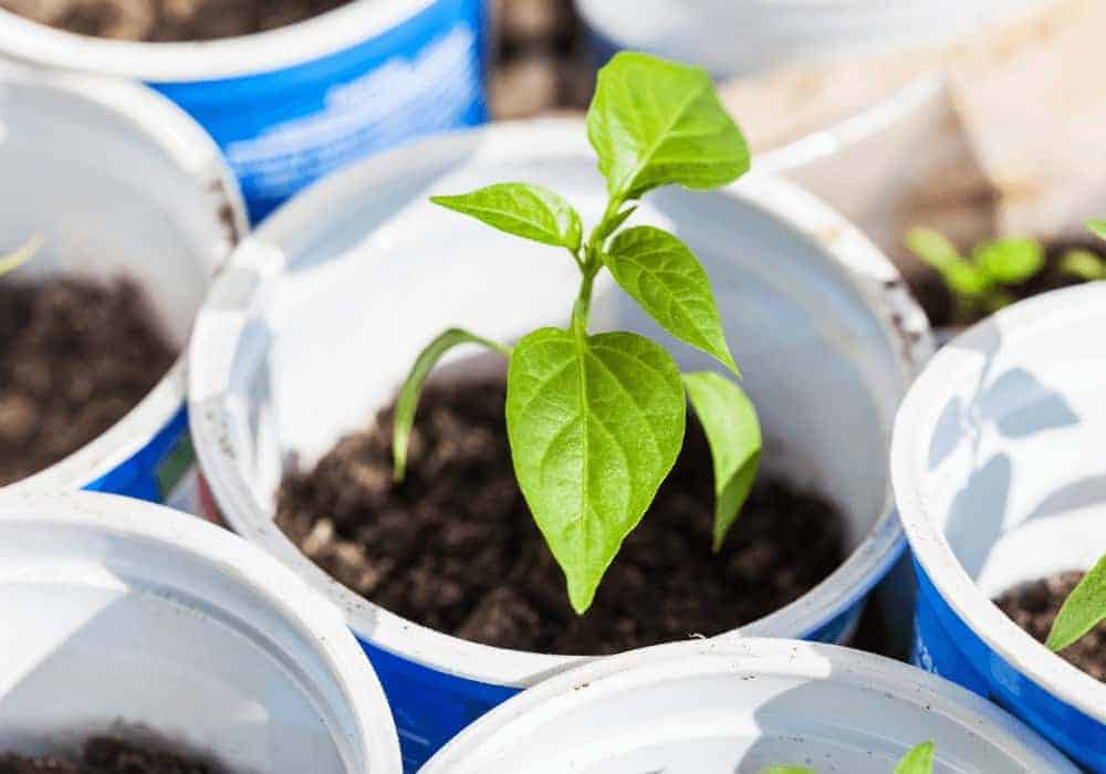 Can You Grow Bell Peppers From Scraps