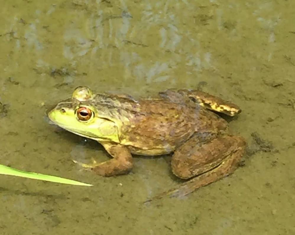 Austin Dam PA wildlife frog