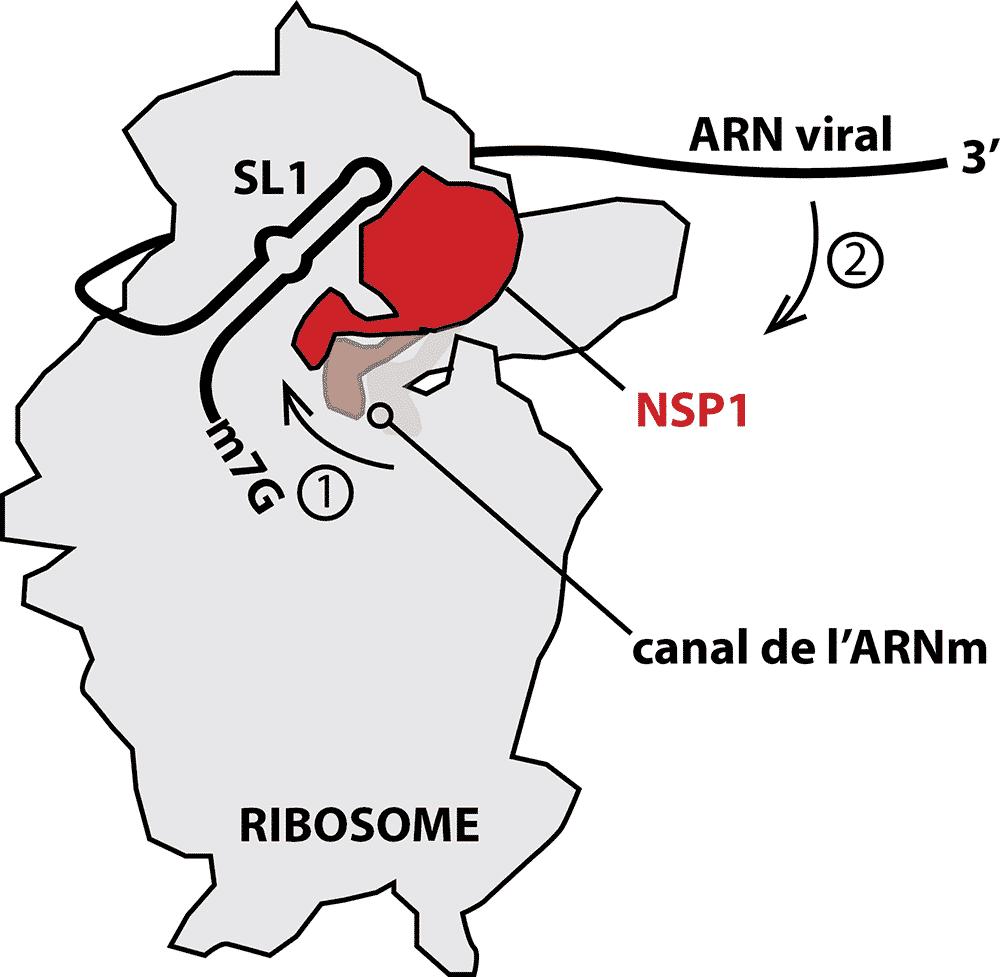 Mécanisme du début de la traduction chez Sars-Cov-2