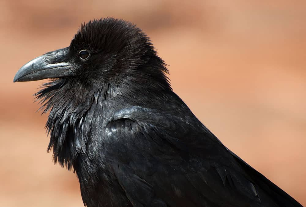 Closeup view of hackles on a common raven. Photo: NPS/Neal Herbert, public domain.