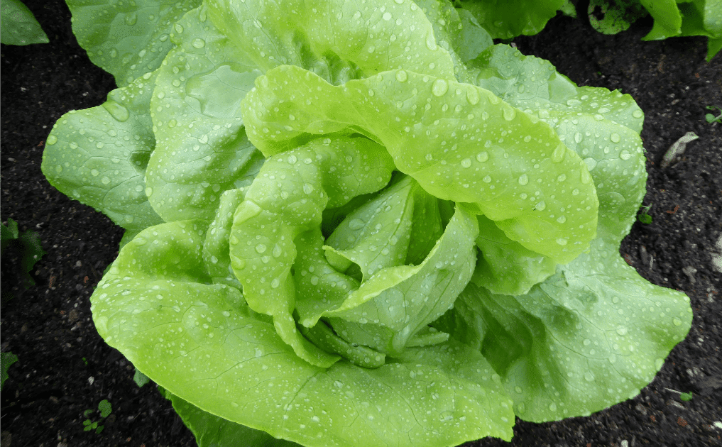 Gardening for Newbies - lettuce