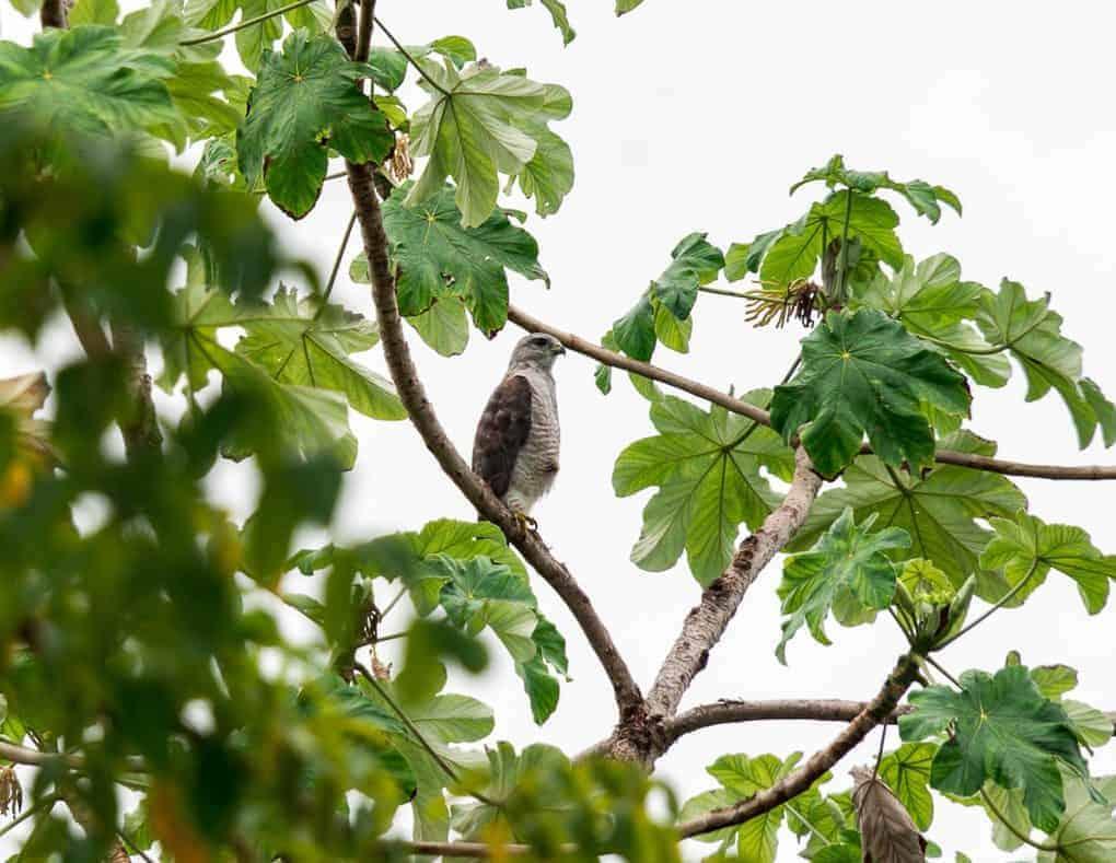 Juvenile Ridgway's Hawk Rehabilitation in Punta Cana Dominican Republic