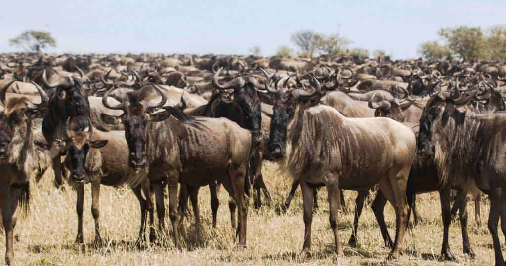wildebeest migration in namiri plains