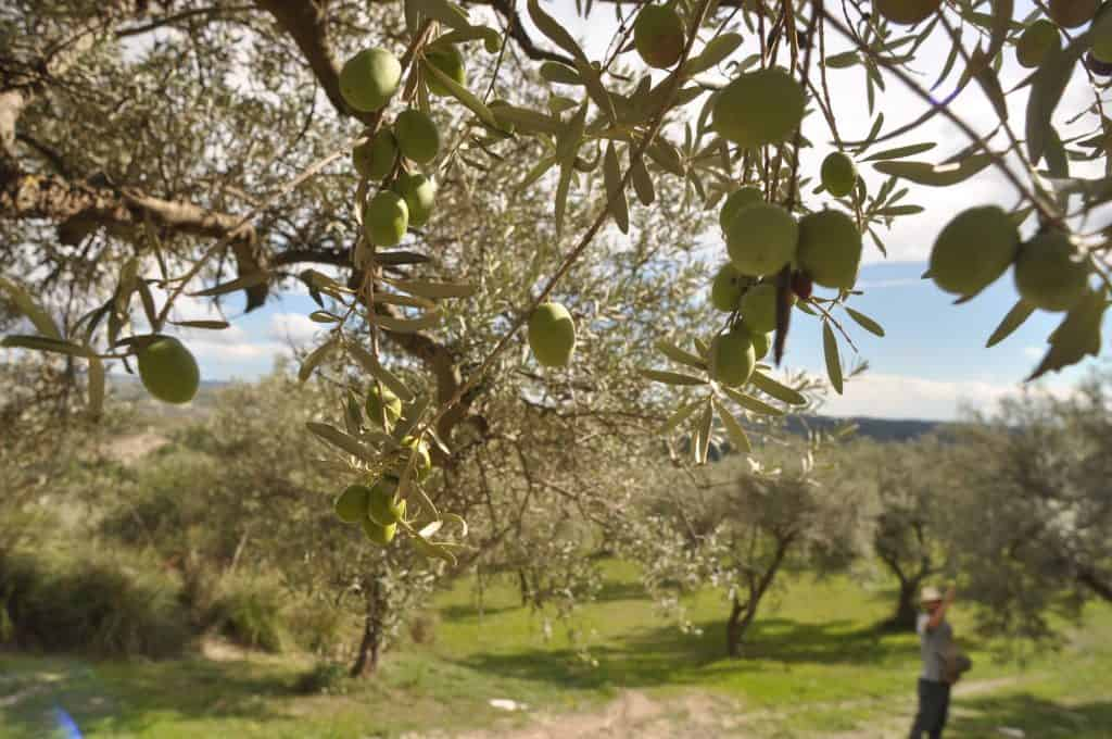 Olive Calaforno